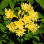 Как ухаживать за желтой азалией в домашних условиях