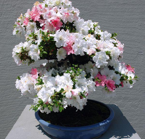 Азалия. Основные правила ухода - Комнатные растения и цветы