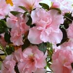 Как ухаживать за розовой азалией в домашних условиях
