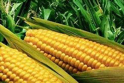 Сколько калорий в одной вареной кукурузе