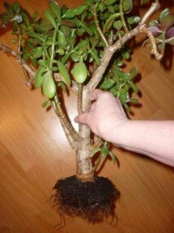 денежное дерево посадка